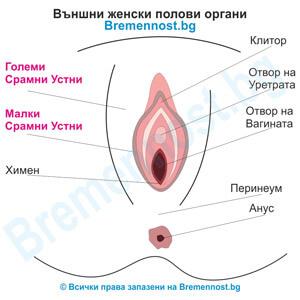 видове срамни устни и какво е големи и малки срамни устни