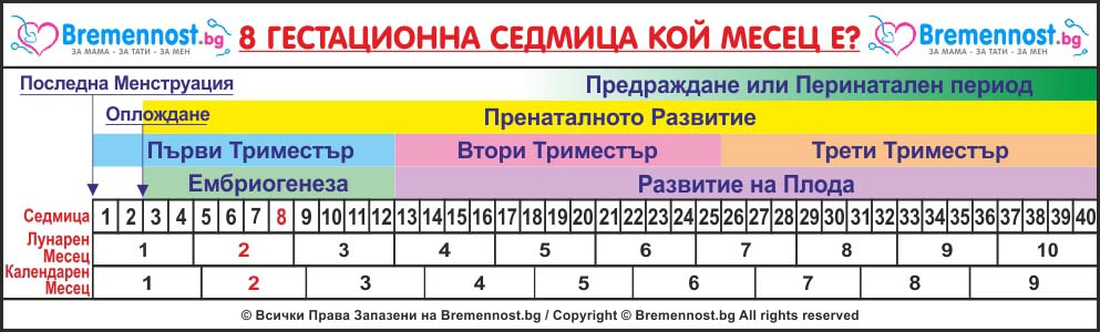 8 гестационна седмица кой месец е