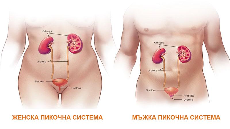 мъжка и женска пикочна система