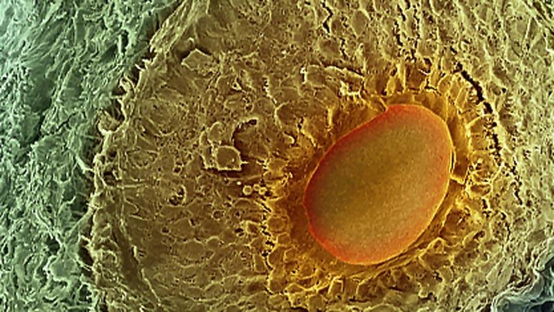 яйцеклетка развиваща се в яйчника на 7-ия ден от менструалния цикъл