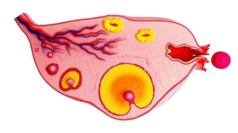 бременност ден 5 от менструалния цикъл
