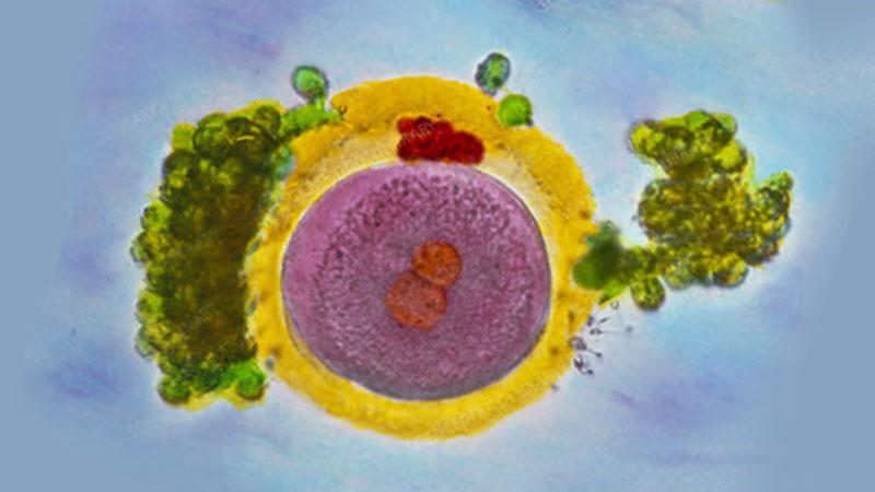 яйцеклетката 24 часа след зачеването
